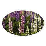 Lupine flowers in a garden Decal