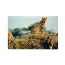 Cheetahs on hill Rectangle Magnet