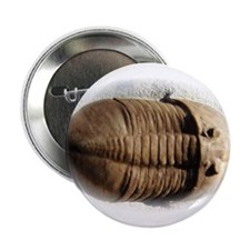 Asaphus trilobite Button