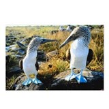 Blue-footed boobies, Gala Postcards (Package of 8)