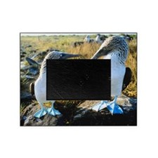Blue-footed boobies, Galapagos Islan Picture Frame