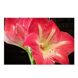 Amaryllis Postcards
