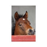 """Connemara Foal 1"" Rectangle Magnet (100 pack)"