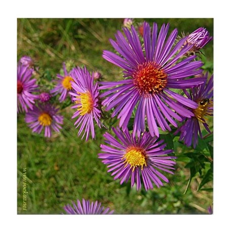 New England Aster Tile Coaster