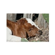 Boer Kid Napping Rectangle Magnet
