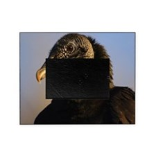 black vulture Picture Frame