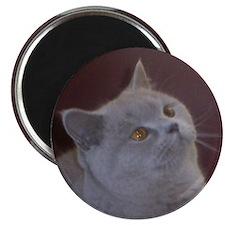 British Shorthair cat Magnet