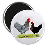 Black Sex-link Chickens 2.25