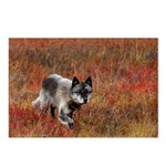 Alpha Male Wolf Postcards (Package of 8)