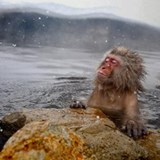 Snow monkey enjoying hot springs Drinking Glass
