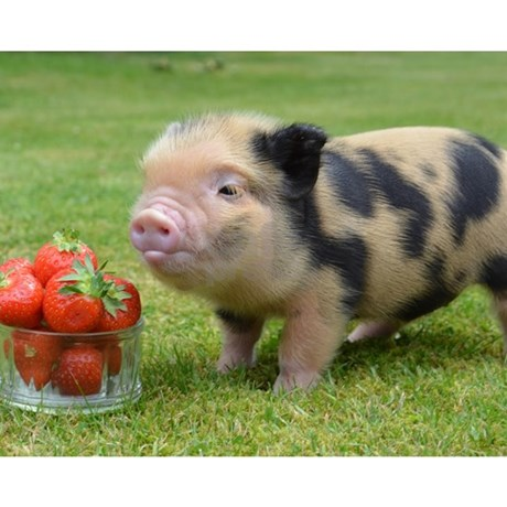 micro pig with strawberries puzzle by admincp59679680