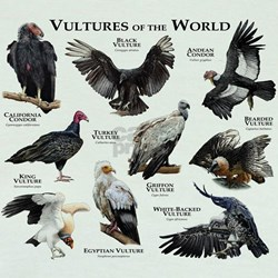 Vultures of the World T