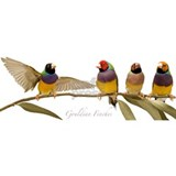 Gouldian Finch Flight Mug