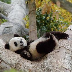 Panda Kitchen on Panda Bears Coffee Mugs   Panda Bears Travel Mugs   Cafepress