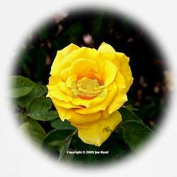 A Yellow Rose of Texas Shirt