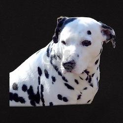 Dalmatian black T-shirt