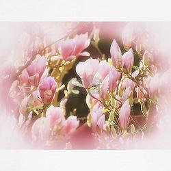 Magnolia T