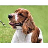 Welsh Springer Spaniel Water Bottle