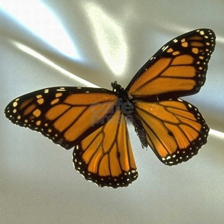 Monarch Butterfly Baby Blanket By Tjcreations