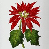 Botanical Poinsettia Drinking Glass