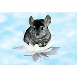 Chinchilla Framed Prints