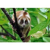 Slow loris Wrapped Canvas Art