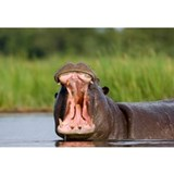 Hippo Wall Decals