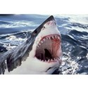 Great white shark Posters &amp; Art