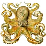 Vintage octopus cephalopod scientific drawing Wate