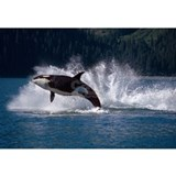 Orca Wrapped Canvas Art