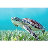 Sea turtle Framed Prints