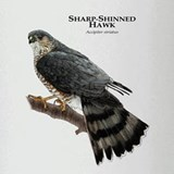 Sharp-Shinned Hawk Drinking Glass